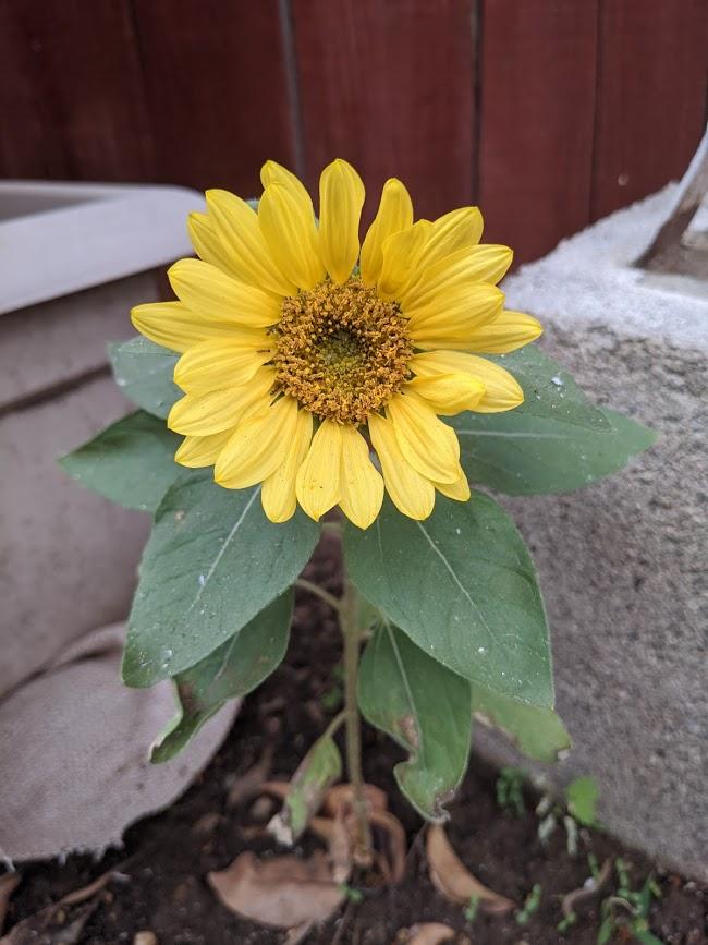 backyard sunflower w.ash